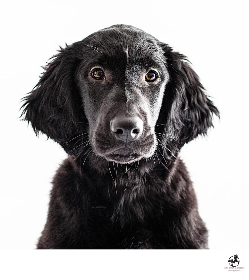 Flatcoat Retriever Puppy Dog