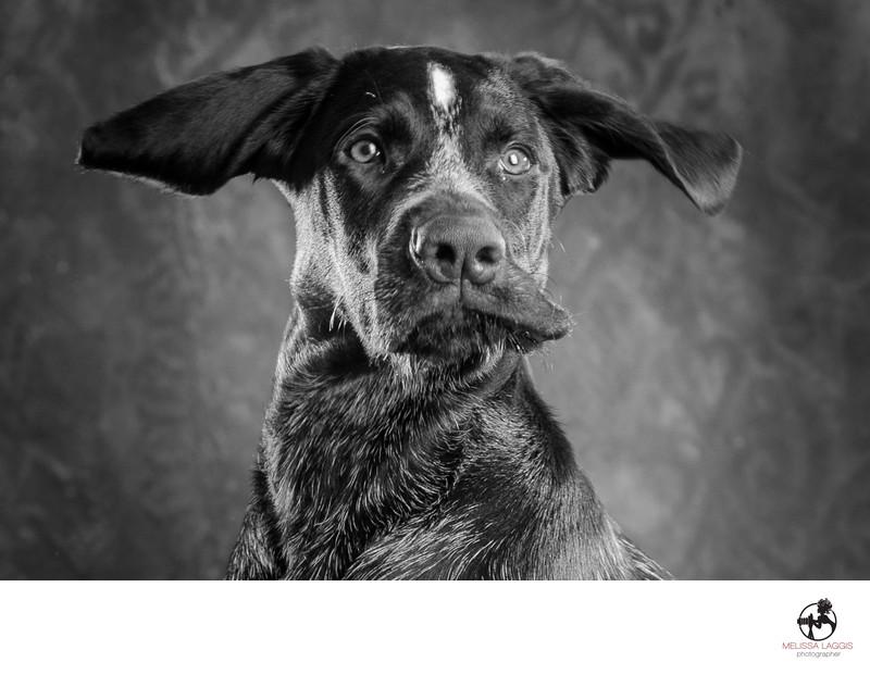 German Wirehair Pointer Dog