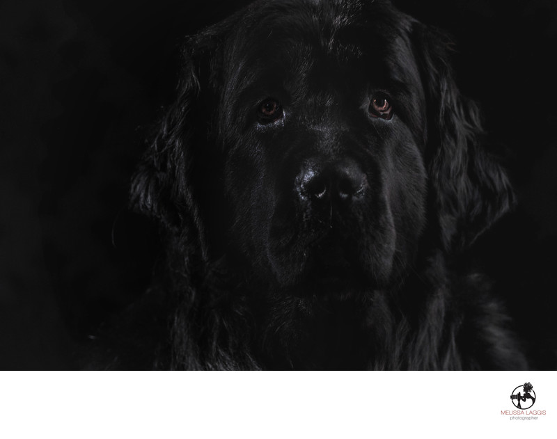 Black on Black Newfoundland Dog