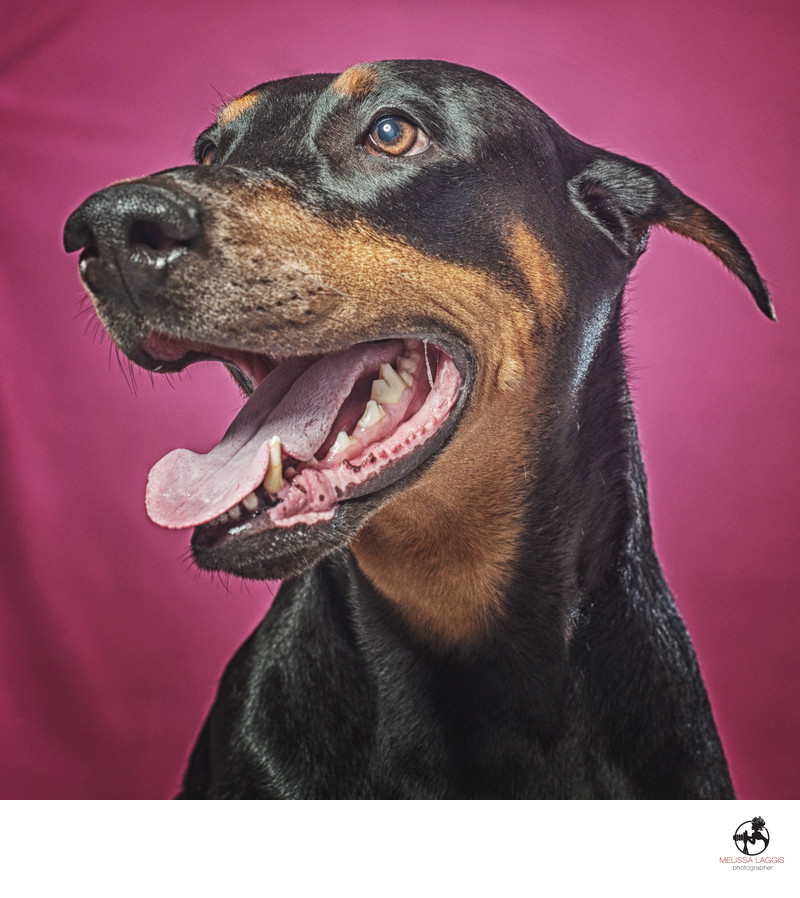 Doberman Pinscher with cropped ears