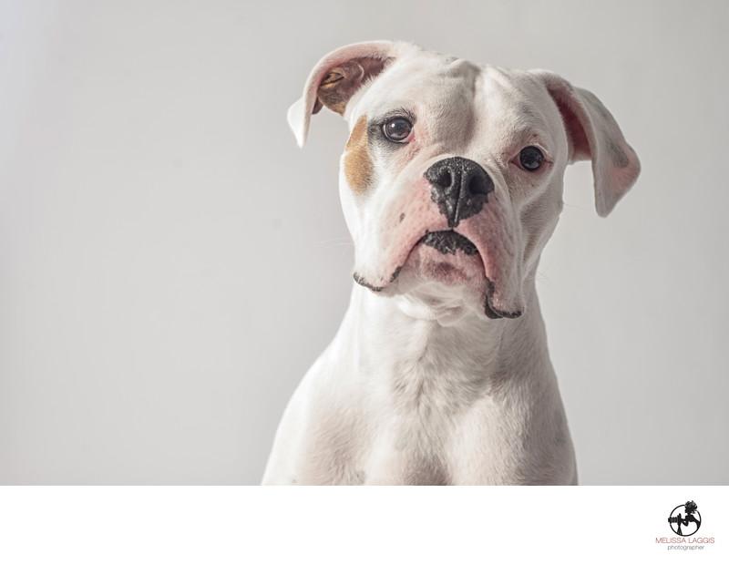 White Boxer Dog