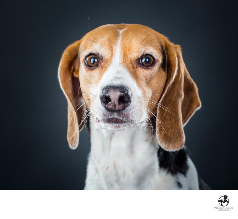 Beagle Mix Breed Dog