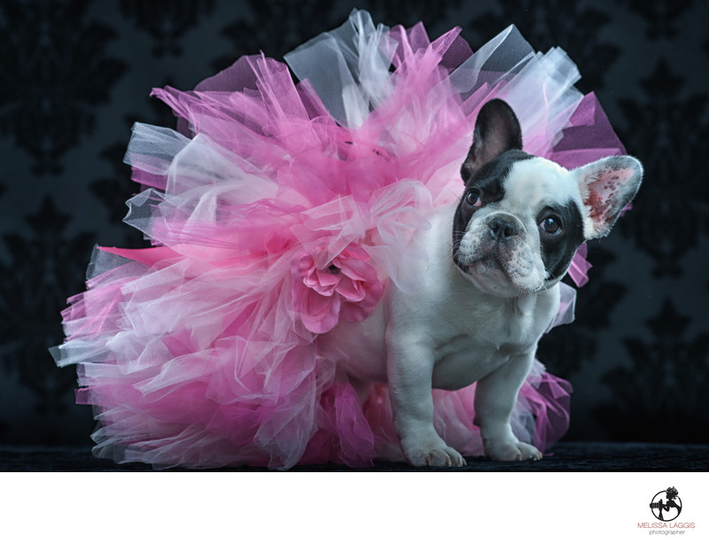 Black and white French Bulldog in a pink tutu