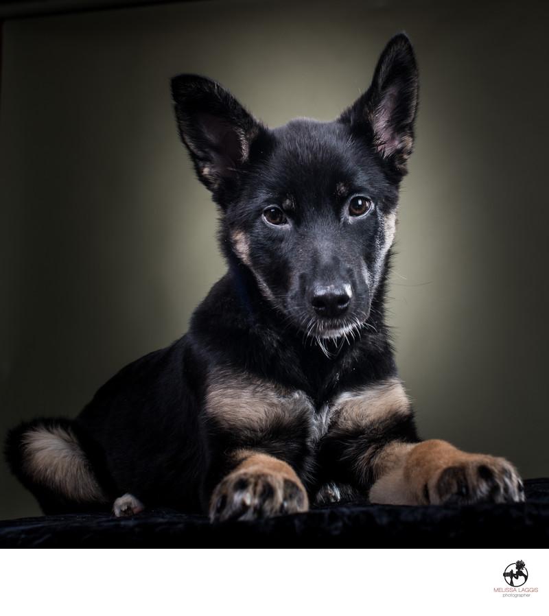 German Shepherd Puppy Dog