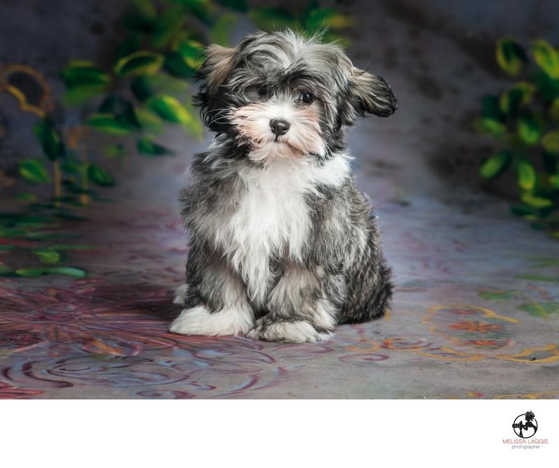Havanese Puppy Dog