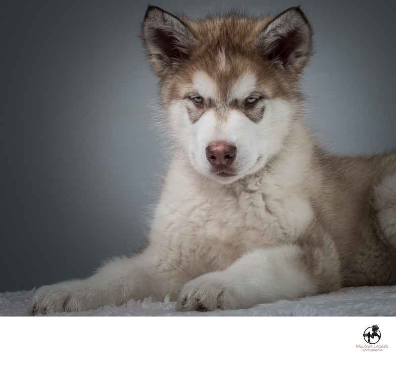 Alaska Malamute Puppy Dog