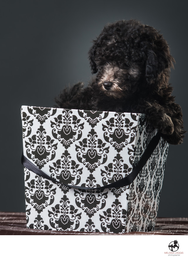 Silver Toy Poodle Dog