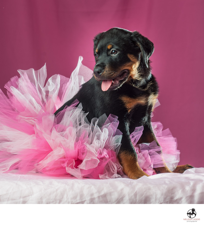 Rottweiler Puppy Dog in a tutu