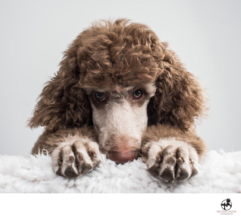 Silver Brown color Standard Poodle Puppy Dog