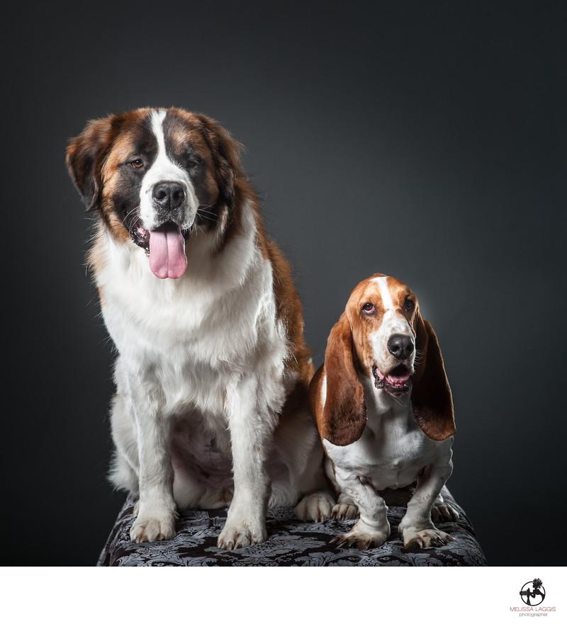 Saint Bernard and Basset Hound Dogs