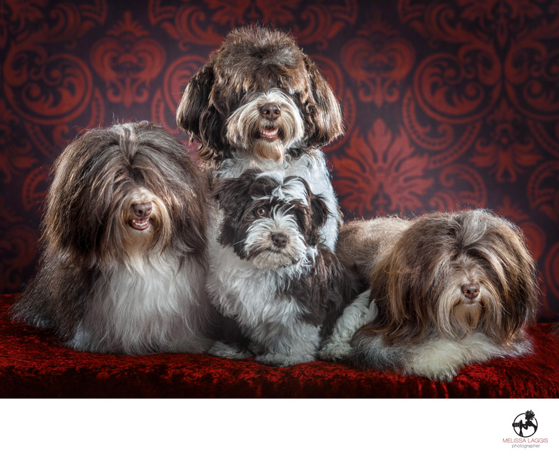 Havanese Family Pack of dogs