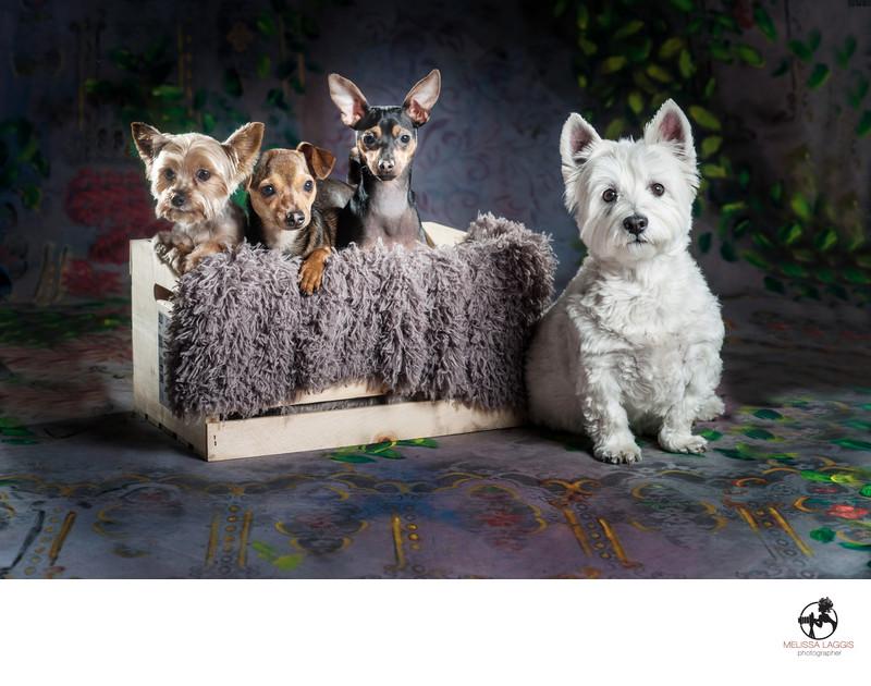 Yorkie Chihuahua Westie family pack