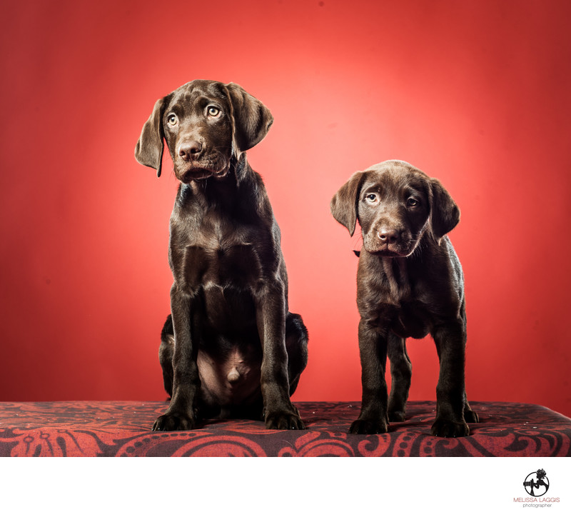 Chocolate Lab Puppy Dogs