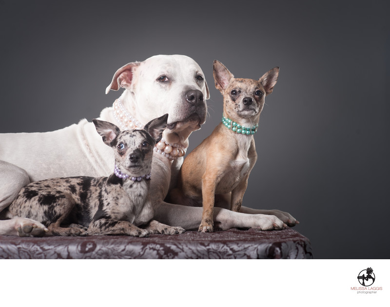 Pit Bull and Chihuahua with necklace