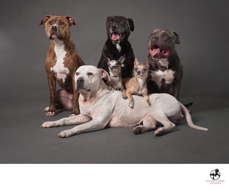 Pitbulls and Chihuahua Dogs