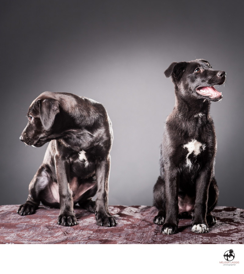 Rottweiler and Lab mix rescue dogs