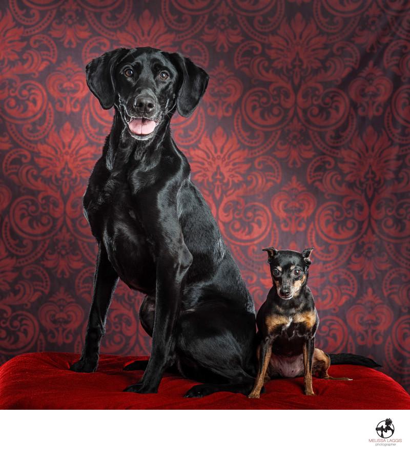 Black Labrador Retriever and Miniature Pinscher dogs