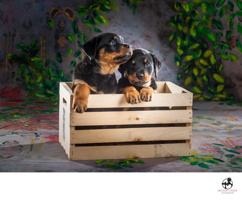 Rottweiler Puppy Dogs in a crate