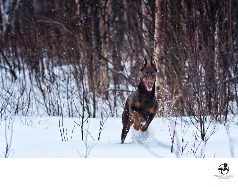 Doberman Pinscher in snow