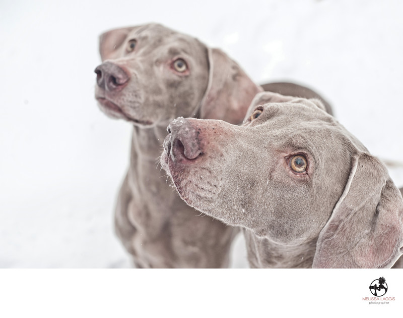 Weimaraner Dogs in the Snow