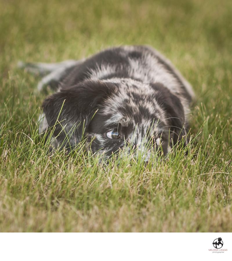 Catahoula Puppy in Alaska