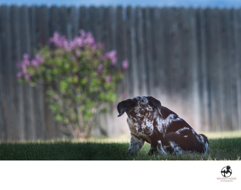 Catahoula Leopard Puppy Dog