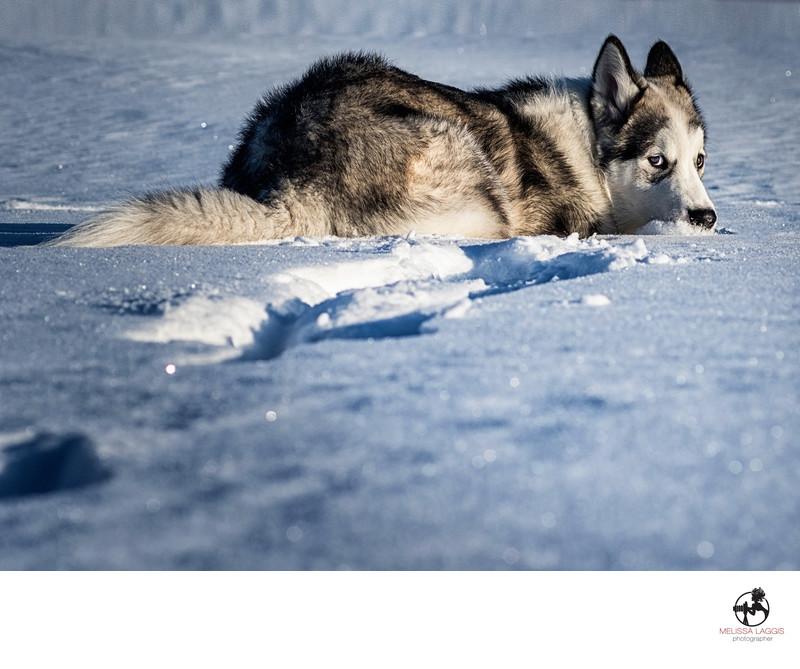 Wolf Dog in the Snow in Alaska