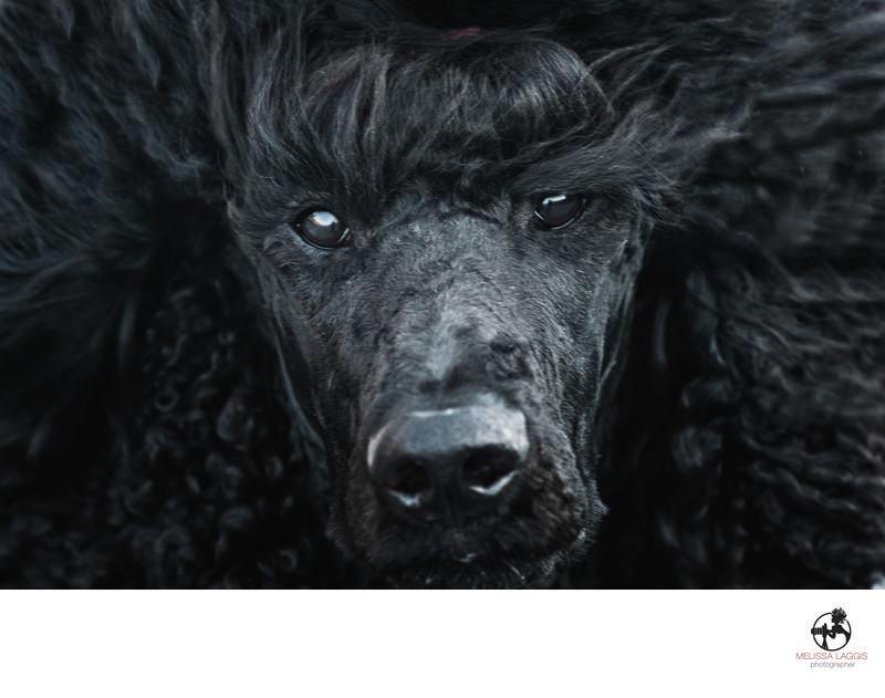 Galavanting Poodle Black Standard