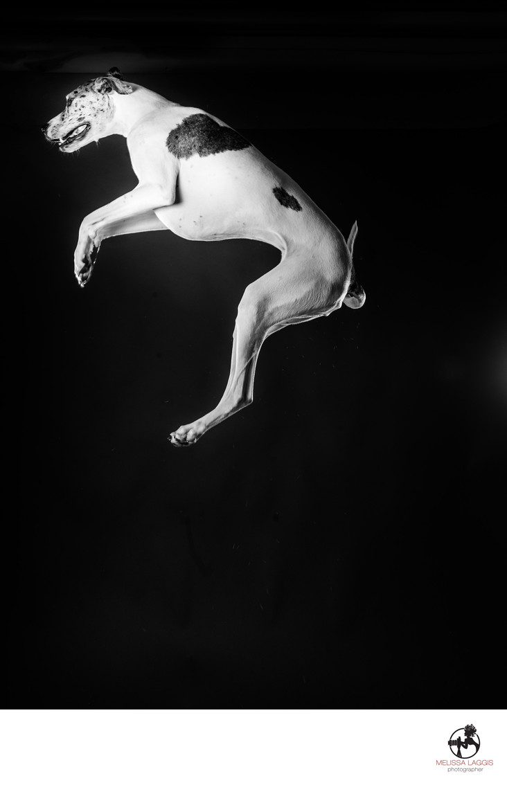Great Dane in black and white