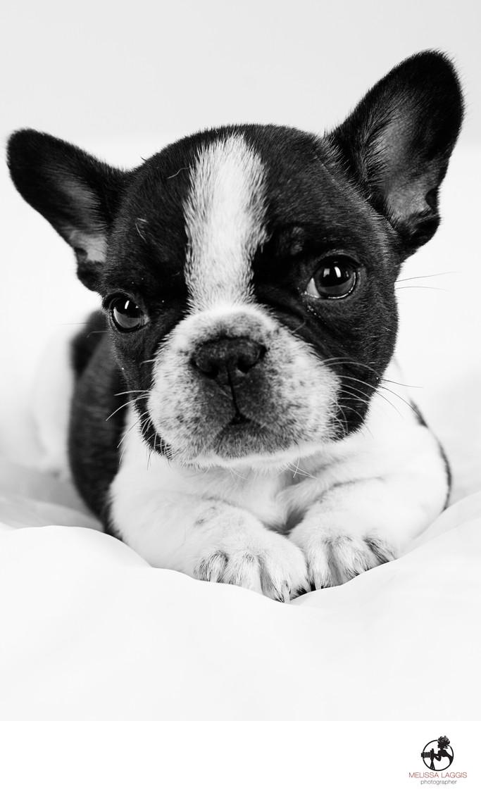 Black and White French Bulldog