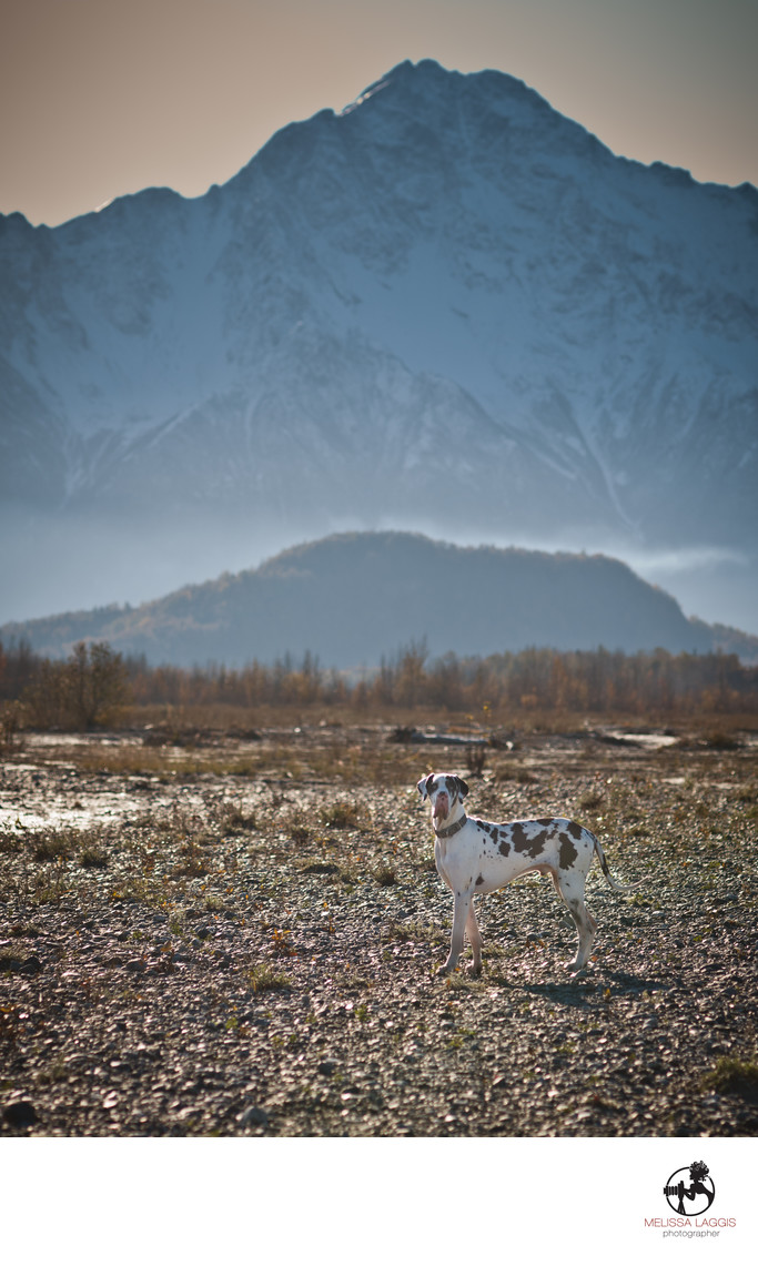 Great Dane Dog with Alaska Mountains