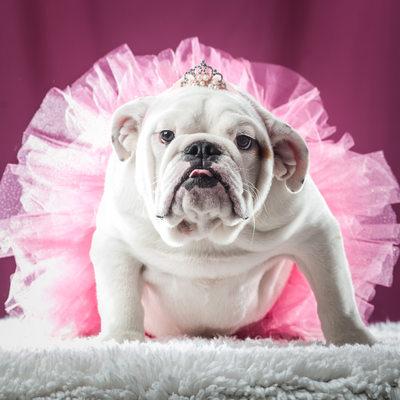 English Bulldog in a pink tutu