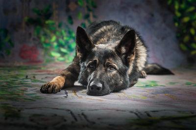 German Shepherd Dog named Ven