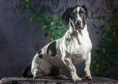 Basset Hound and German Shorthaired Pointer mix