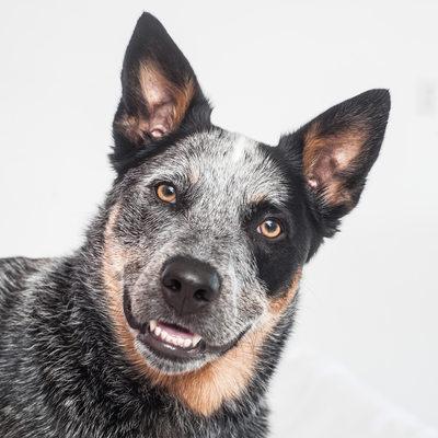 Australian Shepherd Dog or Blue Heeler Dog