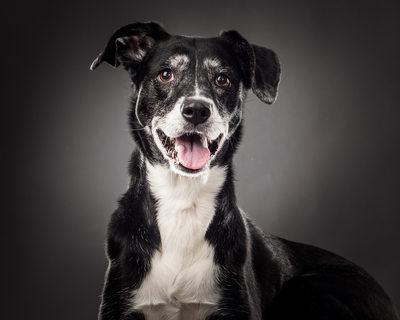 Labrador Retriever and Boxer Mix Senior Dog