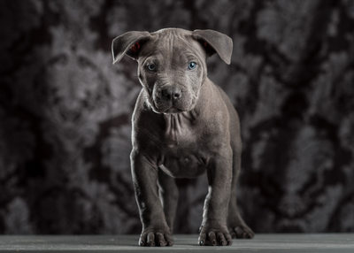 Blue Nose Pit Bull Puppy Dog