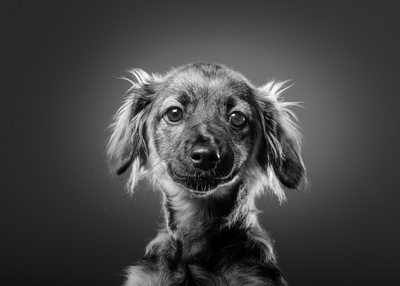 Dachshund mix breed rescue dog
