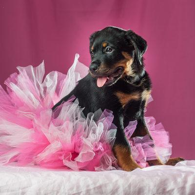 Rottweiler Puppy Dog in a tutu