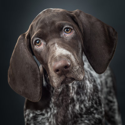 German Shorthaired Pointer with brown ticking
