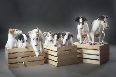 A litter of Borzoi puppy dogs
