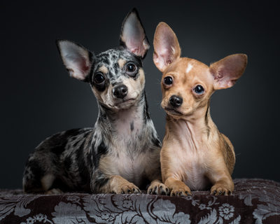 Merle and Tan Chihuahua Dogs