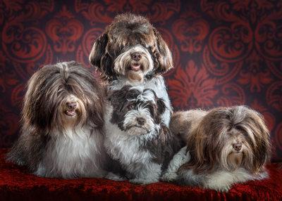 Havanese Family Pack of dogs