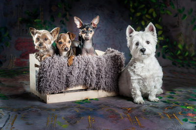Yorkie Chihuahua Westie family pack