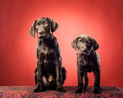 Chocolate Lab Puppy Dogs