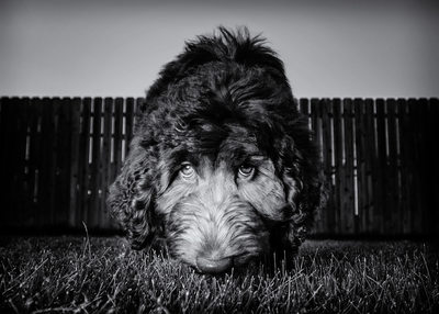 Labradoodle Black and White Photograph