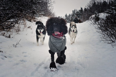 A Poodle and Two Husky Dogs