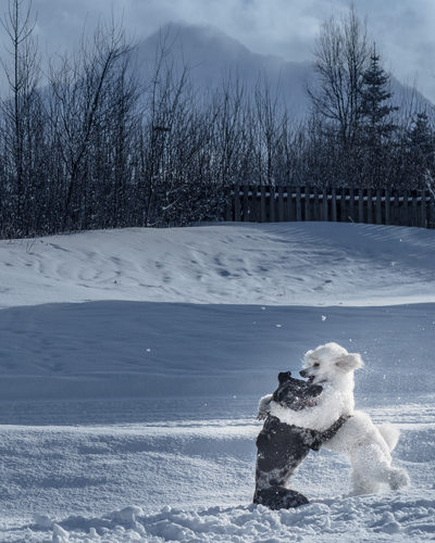 White Poodle and Merle Catahoula in the winter