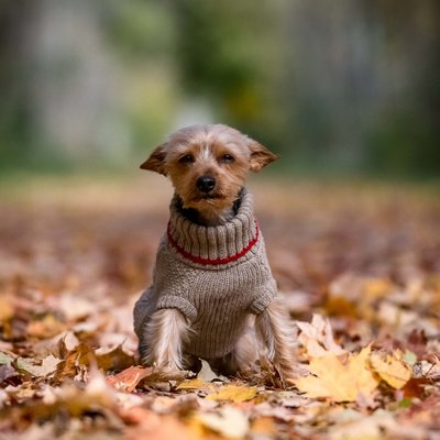 Dog Pictures in the Fall:  Caledon Pet Photographer