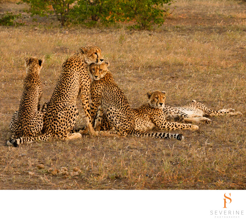 Cheetah mom and 4 cubs